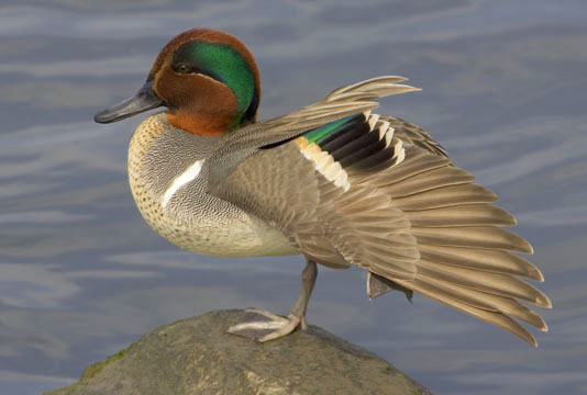 green winged teal mount