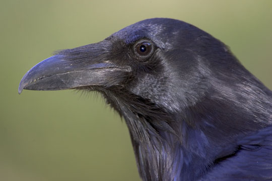 Raven Bird Head