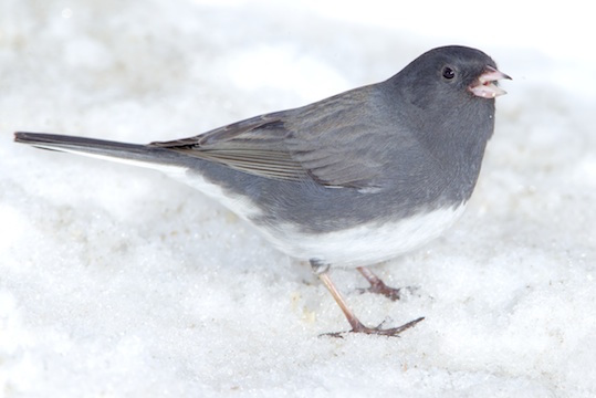 Various Races Of The Dark Eyed Junco Are Found Over Much North America They Differ In Color Hood And Sides This Page Shows