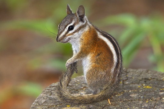 Image result for uinta chipmunk