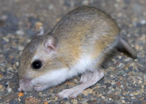 Kangaroo rats  genus Kangaroo Rat Eating