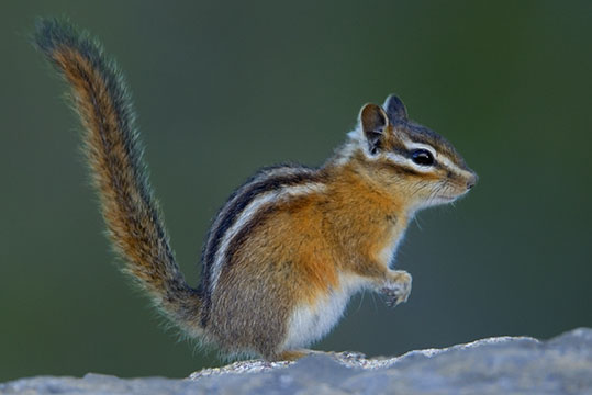 Image result for red-tailed chipmunk