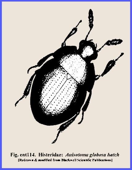 File: <coleoptera